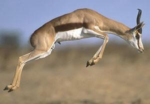 Springbok leaping